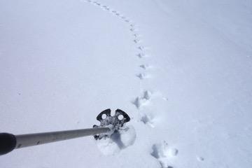 ライチョウの足跡