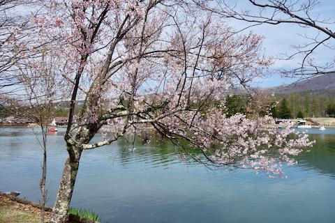 自転車と桜